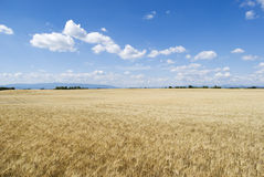 Wheat field with cloudy blue sky Stock Photo