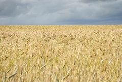 Wheat field on a cloudy day Royalty Free Stock Images