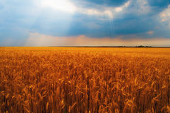 Wheat field on cloudy day Stock Image