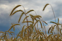 Wheat field and cloudy sky  Royalty Free Stock Photography