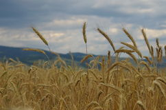 Wheat field and cloudy sky Stock Photos