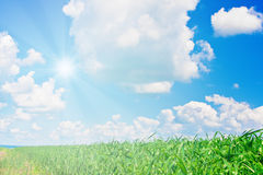 Wheat field and cloudy sky with sun Royalty Free Stock Photos
