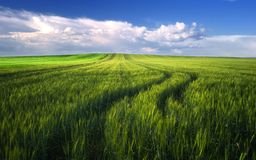 Wheat field before the cloudy sunset time in spring, Hungary Royalty Free Stock Image
