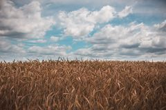 Wheat field, cloudy weather in warm summer. Wheat field, cloudy weather in warm summer before rain royalty free stock photography