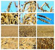 Wheat field collage Royalty Free Stock Images