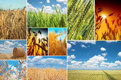 Wheat field collage Royalty Free Stock Photos