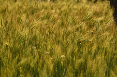 Wheat field with colors of sunset Stock Images