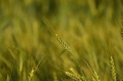 Wheat field with colors of sunset Royalty Free Stock Photos