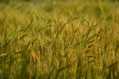 Wheat field with colors of sunset Stock Photography