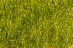 Wheat. Field contaminated with poppy in Algiers, Algeria Royalty Free Stock Photography