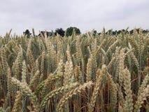 Wheat field corn Royalty Free Stock Photos