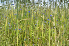 Wheat Field with Cornflowers. Royalty Free Stock Photos