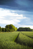 Wheat field and country road with avenue Royalty Free Stock Photos