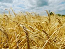 Wheat field royalty free stock images