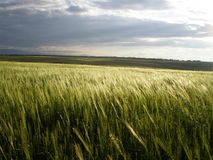 Wheat field in countryside Royalty Free Stock Photos
