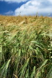 Wheat field in countryside Royalty Free Stock Images