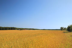 Wheat field in countryside. Scenic view of ripe golden wheat field in countryside with blue sky background Stock Photography