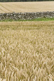 Wheat field countryside background Royalty Free Stock Photo