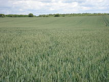 Wheat field in the countryside. May 2014 Royalty Free Stock Image