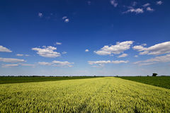 Wheat field and countryside scenery. Wheat Field and Clouds. Green Wheat field on sunny day, Blue sky Stock Images
