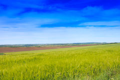Wheat field and countryside scenery Royalty Free Stock Image