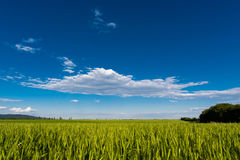 Wheat field in the countryside Royalty Free Stock Photo