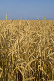 Wheat field in Crimea. Ripe wheat field in hot summer day Stock Image