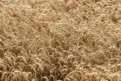 Wheat Field Crop Background Stock Photos