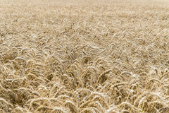 Wheat Field Crop Background Stock Photography