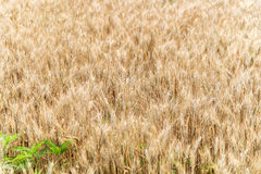 Wheat Field Crop Background Royalty Free Stock Image