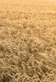 Wheat Field Crop Background Royalty Free Stock Photos