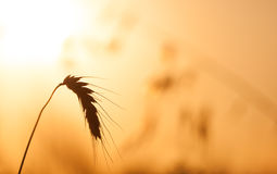 Wheat field crop in a golden sunset Royalty Free Stock Photos