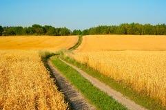 Wheat field in crop season Stock Photo