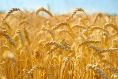 Wheat field in the crop Royalty Free Stock Photography