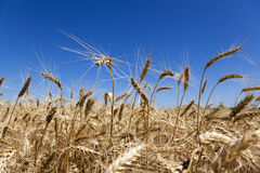 Wheat in field Stock Image