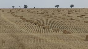 Wheat field cut. Straw collected in large square bales. stock video