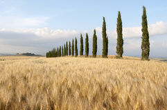 Wheat field and cypresses Royalty Free Stock Photos