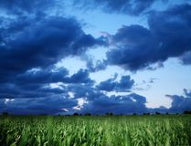 Wheat field and dark bly stormy sky. Royalty Free Stock Image