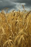 Wheat field and dark sky Royalty Free Stock Photo