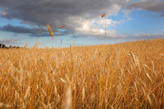 Wheat field with darkening clouds Royalty Free Stock Images