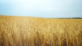 Wheat field at dawn. The wind swings the spikelets in different directions. The camera swivels from left to right. stock footage