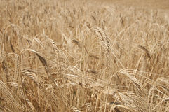 Wheat Field, detail. Golden wheat growing in a farm field, closeup on ears Stock Photography