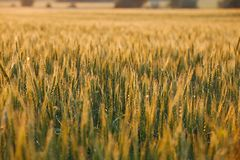 Wheat field detail Royalty Free Stock Photos