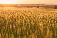 Wheat field detail Stock Photography