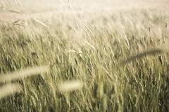 Wheat field detail with soft colors Stock Photography