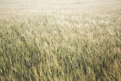 Wheat field detail with soft colors Stock Images