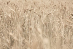 Wheat field detail with soft colors Royalty Free Stock Photos