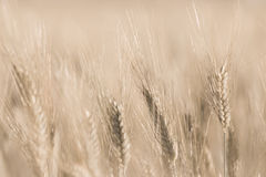 Wheat field detail with soft Stock Photos