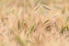 Wheat field detail Royalty Free Stock Photography