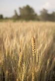 Wheat Field. Wheat details. Sunny field on a SUmmer day Stock Photo